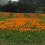 California Poppies in full bloom